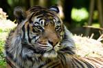 1743 - Tiger
