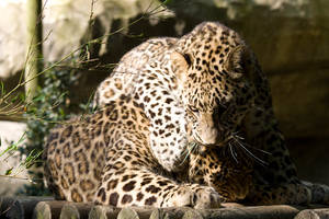 2349 - Persian Leopards by Jay-Co