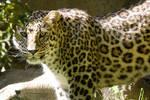 2467 - Persian leopard