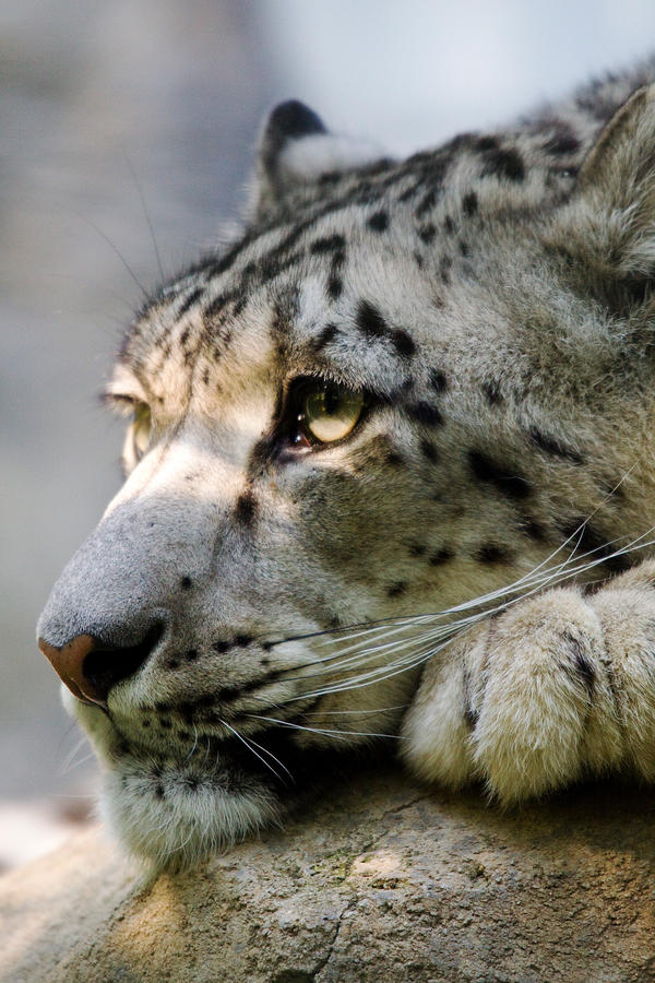 http://fc00.deviantart.net/fs71/i/2010/156/e/d/2539___Snow_leopard_by_Jay_Co.jpg