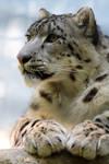 2545 - Snow leopard
