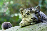2959 - Snow Leopard