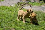3066 - Lion cubs
