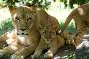 3171 - Lions by Jay-Co