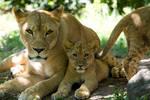 3171 - Lions