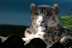 3716 - Snow Leopard by Jay-Co