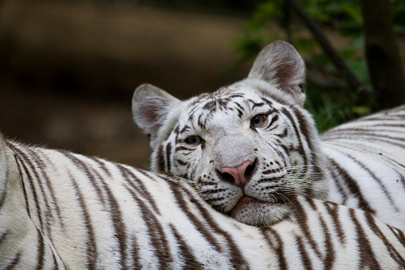 3780 - White tiger by Jay-Co