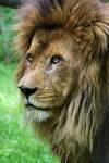 3966 - Lion