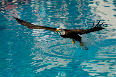 6333 - Bald eagle by Jay-Co