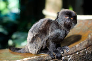 6460 - Goeldi's Marmoset by Jay-Co