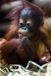6526 - Orangutan