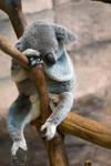 6852 - Koala