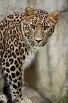 6923 - Persian leopard