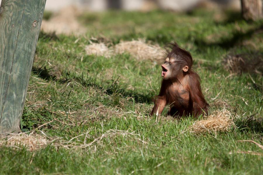 7357 - Baby Orangutan by Jay-Co
