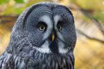 0323 - Great Grey Owl