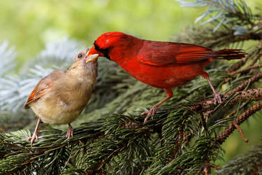 Northern cardinals by Jay-Co