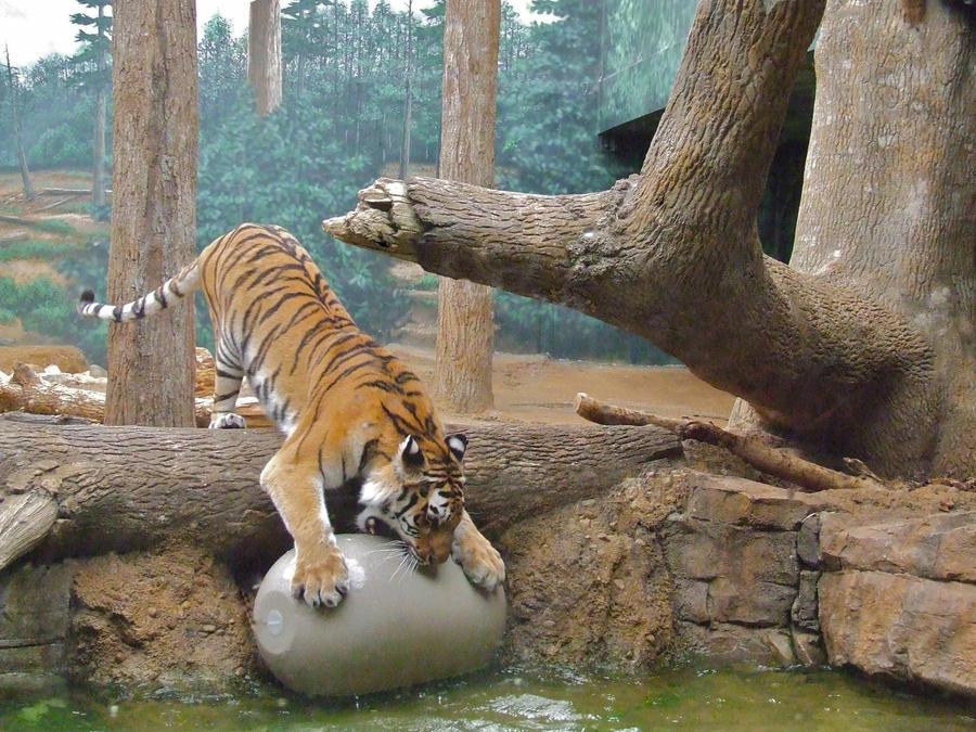 Creative Commons Attribution-Noncommercial-Share Alike 3.0 License .: killercandy15.deviantart.com/art/tiger-attack-321427155