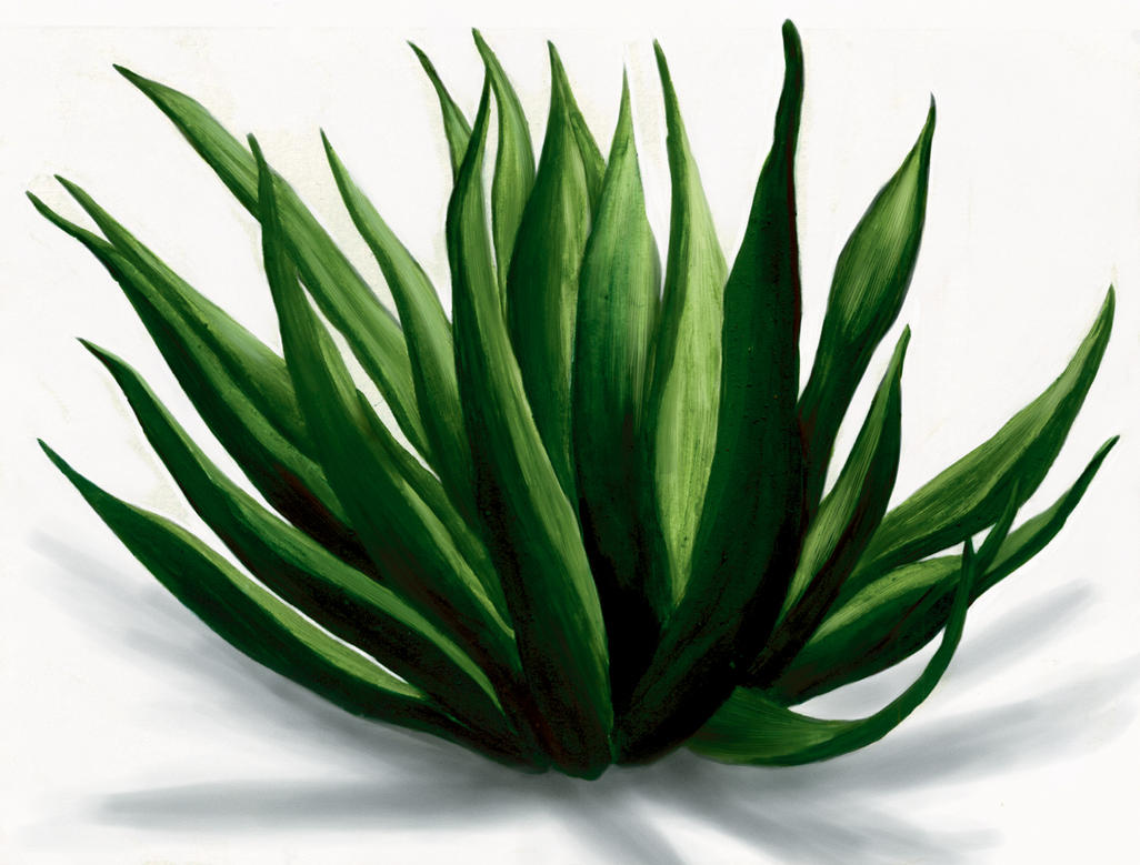 Maguey 5 By AngelCaido On DeviantArt