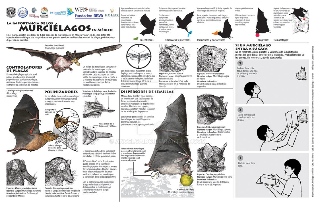 Resultado de imagen para murciélagos infografia