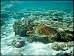 Green turtle 5