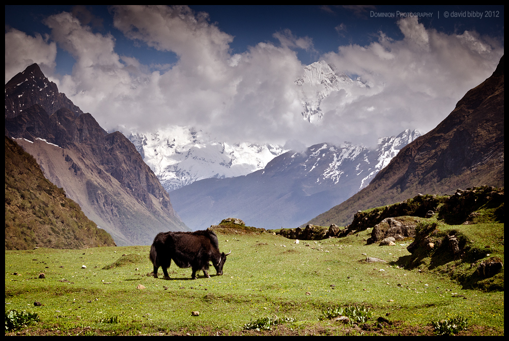 Samdo yak by Dominion-Photography