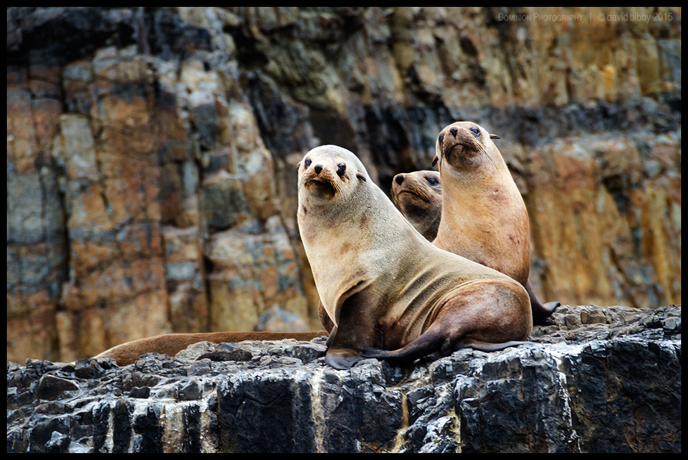 Australian fur seals by Dominion-Photography