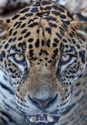 jaguar look by odinemb