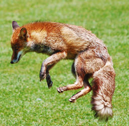 Jumping fox by odinemb