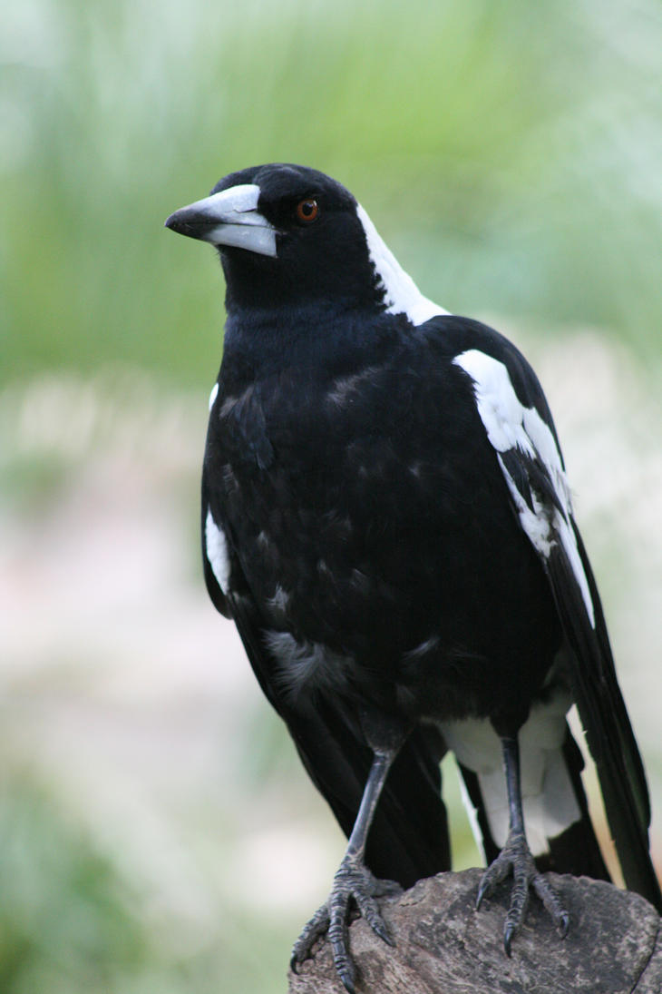 Magpie by newdystock