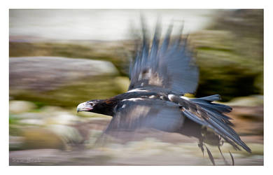 Wedge-tailed Eagle by Sembre