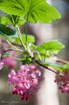 Flowering Current