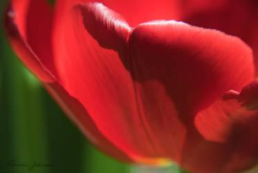 tulip petal by Lasqueti-Ronnie
