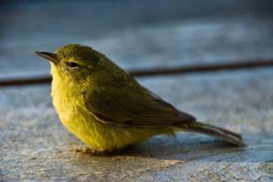 tweet bird by Lasqueti-Ronnie