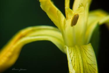 Wild Iris by Lasqueti-Ronnie