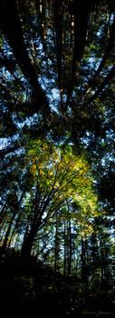 Maple Tree by Lasqueti-Ronnie