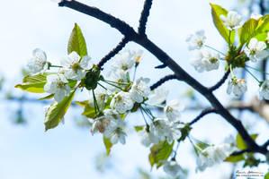 white cherry blossoms by Lasqueti-Ronnie