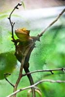 Lizard by Lasqueti-Ronnie