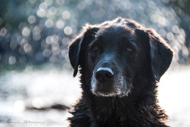 Old Dog by Lasqueti-Ronnie