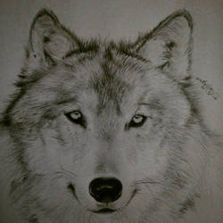 A Canis Lupus Portrait