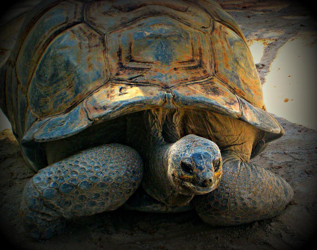 Florida Collection: Pretty tortoise by SapheraRoseBurton