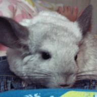chinchilla chat rooms Showrabbitscom po box 913 spring branch, tx 78070 phone: 2103807459 this is a game.