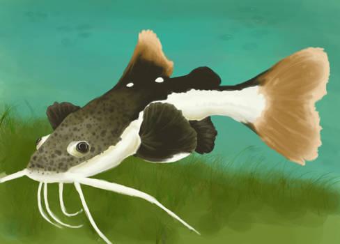 Redtail catfish tango