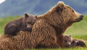 ADOPTED BY A MOTHERLY BEAR (vore story)