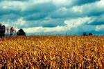 Corn Field in Autum