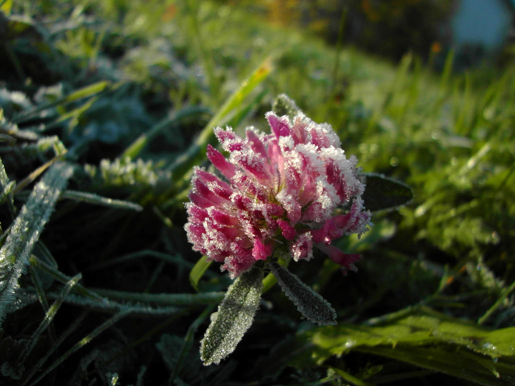 Trifolium pratense in Morning Frost by Doktrinen