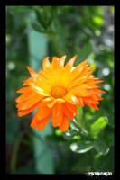Calendula officinalis by NeoRavenous