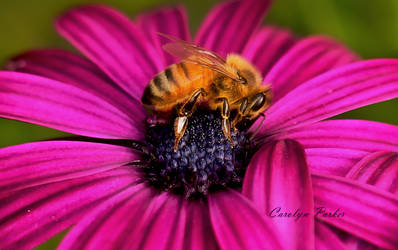 Honey Bee on Purple by Cairngorm747
