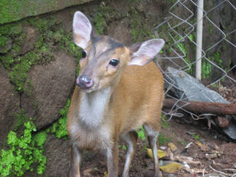 Barking Deer by delinquant