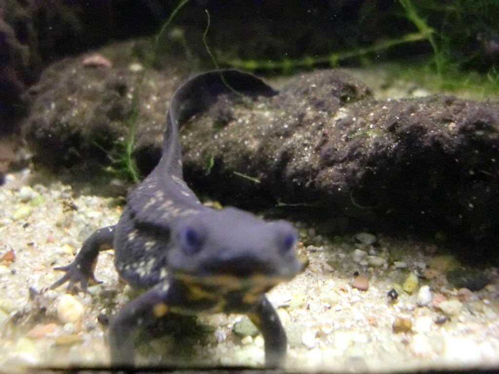 Japanese fire belly newt by Viporion on deviantART