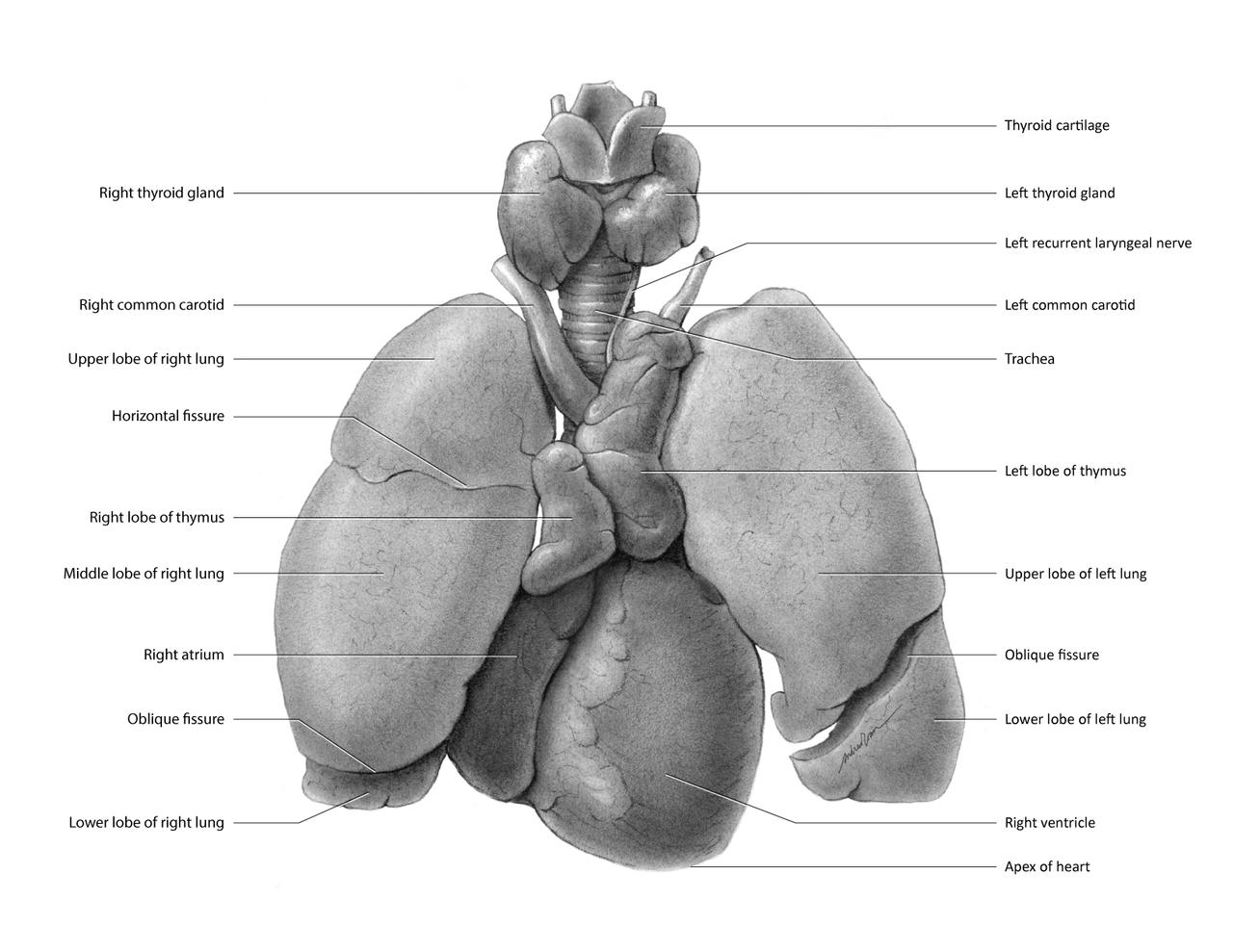Großartig Thymus Lage Zeitgenössisch - Anatomie Und Physiologie ...
